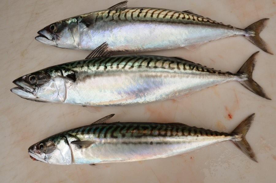 Dobler makrellrådet