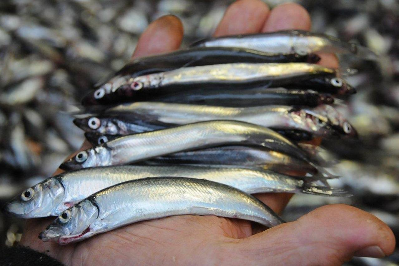 Tilrår loddefiske