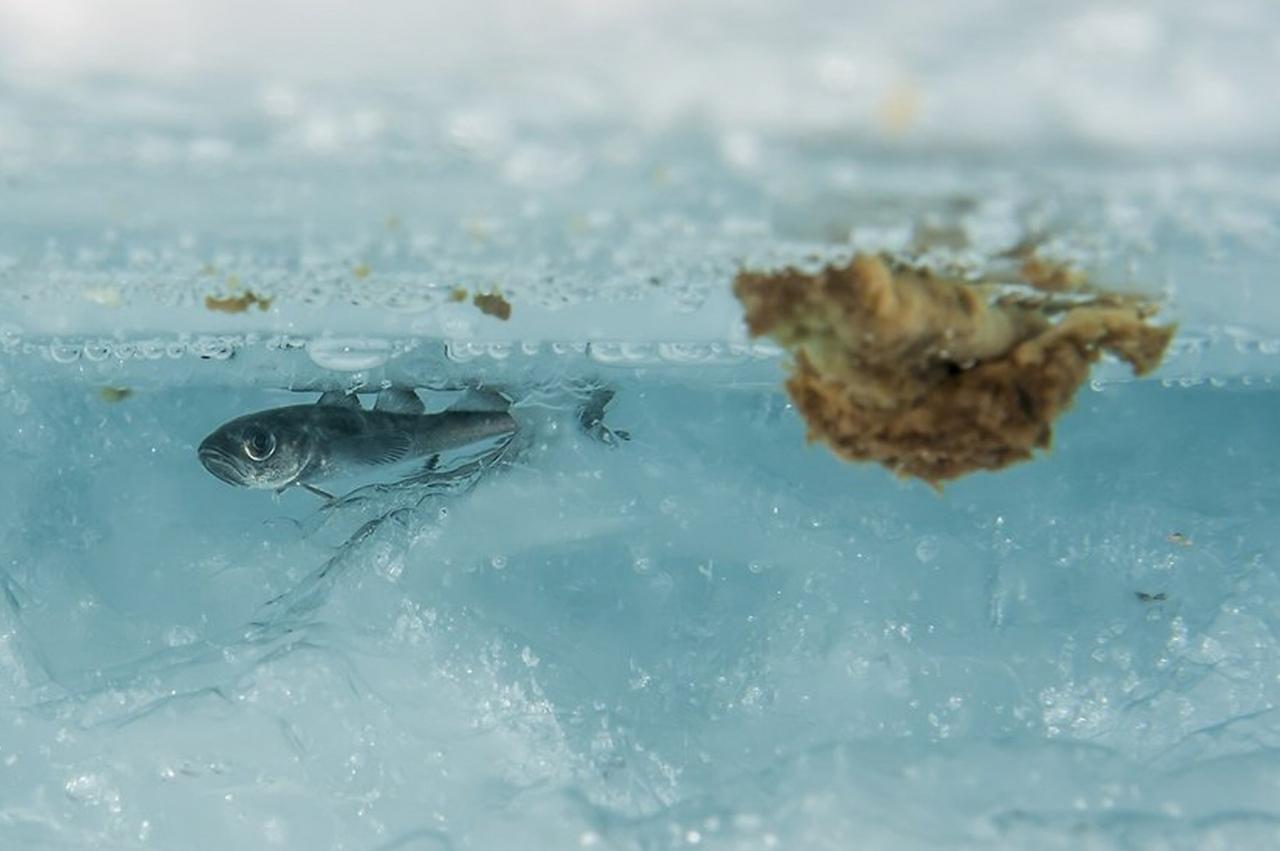 Polartorsk oljeskades